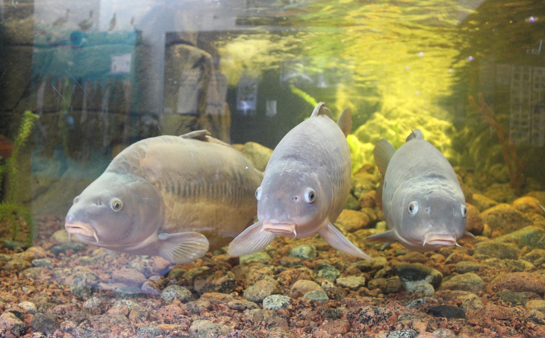 Kolme karppi kalaa