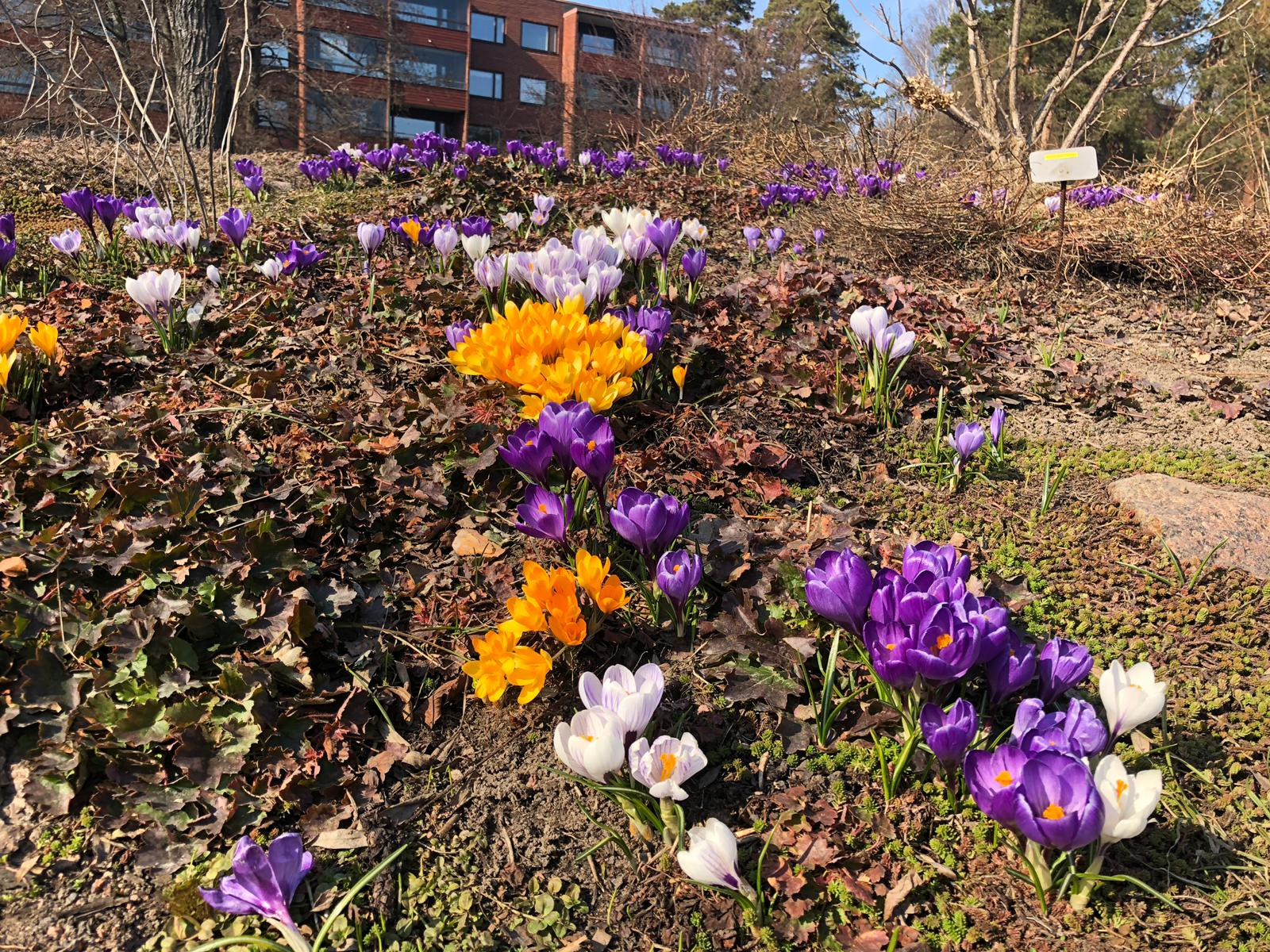 Kevätkukkia Kotkassa