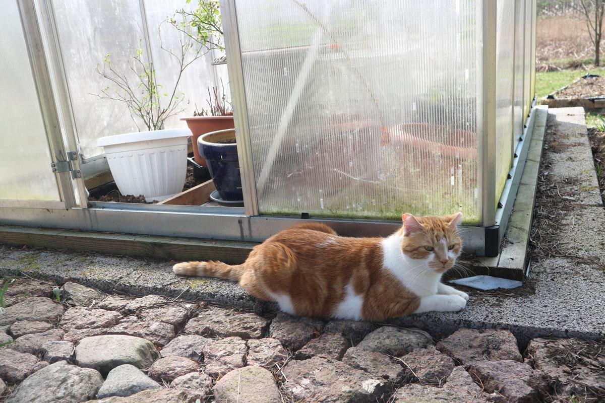 Kissa kasvihuoneen edessä